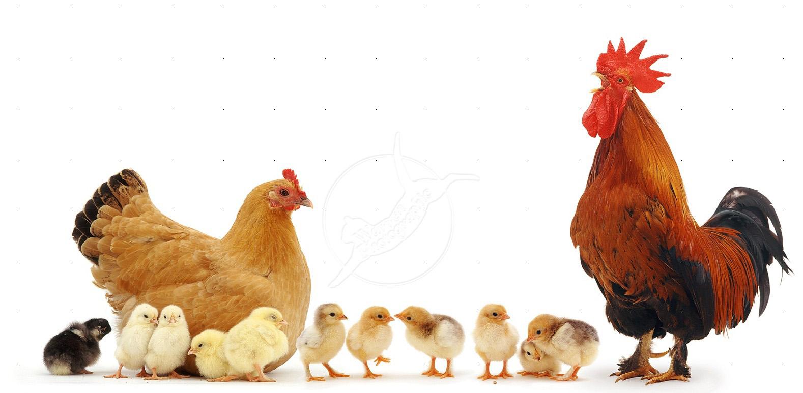 Птицеводство и грипп