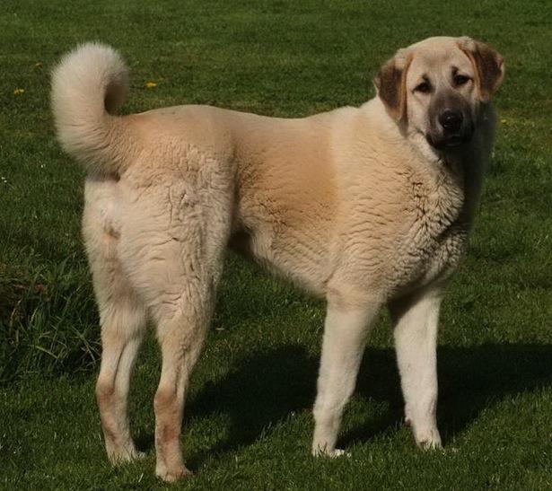 10 самых крупных собак в мире