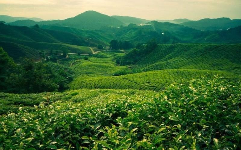 Чайная-плантация